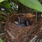 Ninho de pássaros
